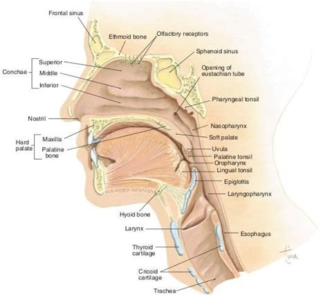 sagittal section of head mid sagittal section of head neck nursing school