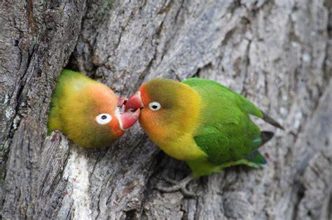love bird rescue birds information pets