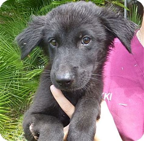 golden retriever puppies for adoption in florida adopted puppy oviedo fl golden retriever labrador retriever mix