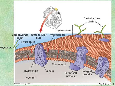 glycolipid  cell membrane hasshecom