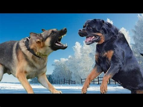 rottweiler vs wolf would win kangal vs sarplaninac highlights doovi