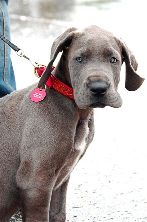 free great dane puppies file great dane puppy blue jpg