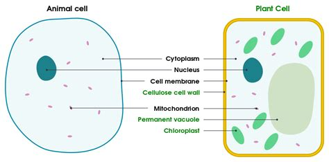 plant and animal cell diagram file differences between simple animal and plant cells en