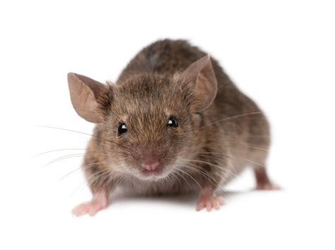house rat aepma pest profile house mice