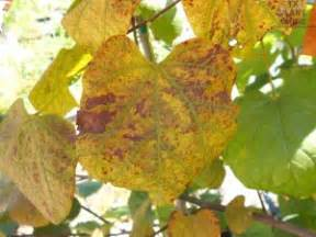 spots and blotches on leaves texas plant disease