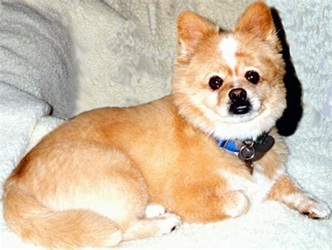 pomeranian mixed breeds corgi cross breeds are 25 pictures