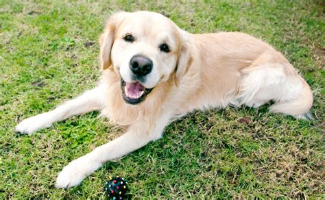 golden retrievers for sale australia quelques liens utiles