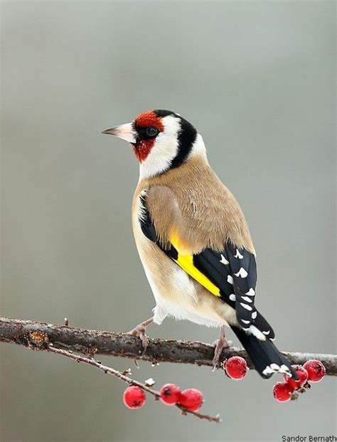goldfinch the goldfinch has eye catching black and yellow