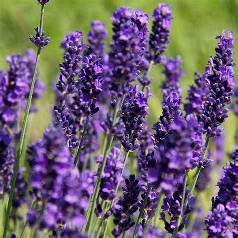 Lavandula Angustifolia Hidcote Blue 2479 by Lavender Hidcote Lavandula Hidcote Hedges Direct Uk