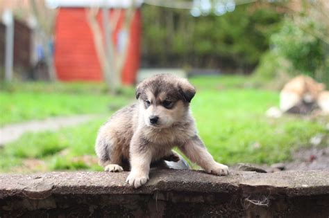 golden retriever cross malamute alaskan malamute x golden retriever puppies birmingham west midlands pets4homes