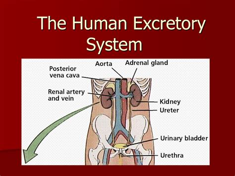 diagram of excretory system search results for digestive diagram calendar 2015