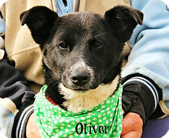 adopt a puppy new orleans new orleans la german shepherd border collie mix meet oliver a puppy for adoption