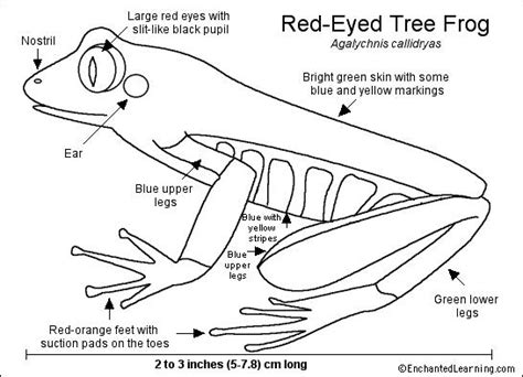 coloring pages of a red eyed tree frog red eyed tree frog printout enchanted learning software
