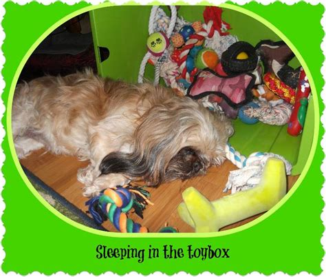shih tzu dwarfism news and tips from shih tzu palace puppies