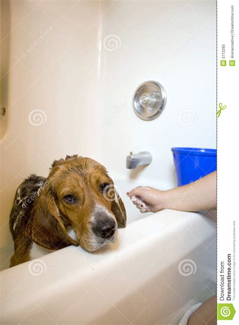 dogs in the bathtub beagle dog in the bathtub stock photos image 5712283