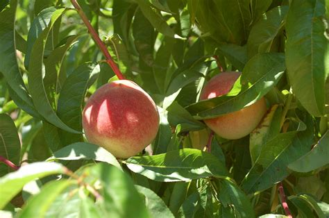 fruit trees bay area andy s orchard maverick orchardist demystifies heirloom