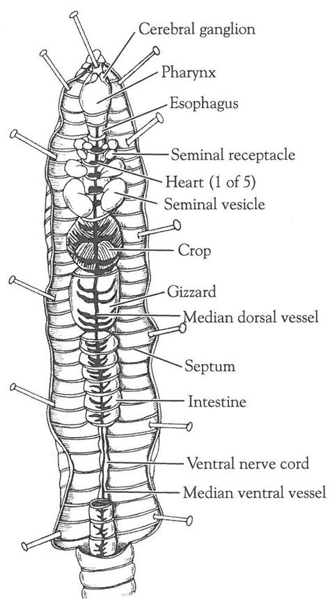 earthworm anatomy diagram earthworm activity sheets closed circulatory system dissection of the crayfish and