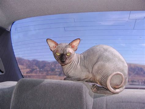 sphynx cat wallpapers funny animals