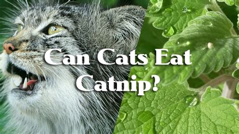 can dogs catnip can cats eat catnip pet consider