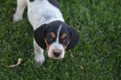blue tick hound puppy blue tick beagles breeds picture