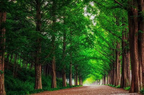 Green Korea Wallpaper   landscape nature forest trees metasekvoya road alley south