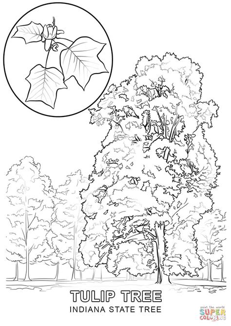 indiana state tree coloring page indiana state tree coloring page free printable coloring