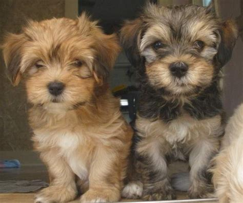 cuban havanese puppies havanese puppies breed dynamic breed havanese puppy and national of