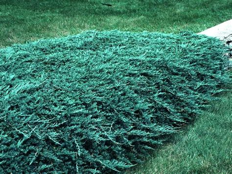 blue rug juniper growth rate blue rug juniper this is the lowest growing juniper shrub it is extremely cold tolerant and