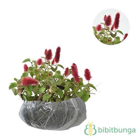 Pot Panjang Ukuran 30 Cm Cocok Untuk Tanaman Likuanyu tanaman acalypha bibitbunga