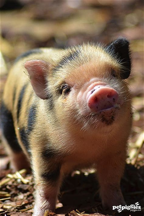 Spellings Baby Farm by Micro Pig Babies Enjoying A Spell Of