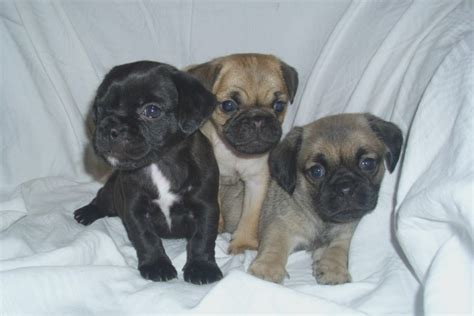 3 month pug puppy pug puppies stafford staffordshire pets4homes quotes