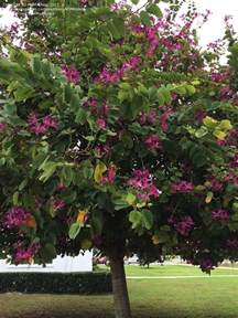 Garden Zone By Zip Code - plantfiles pictures orchid tree butterfly tree mountain ebony geranium tree purple bauhinia