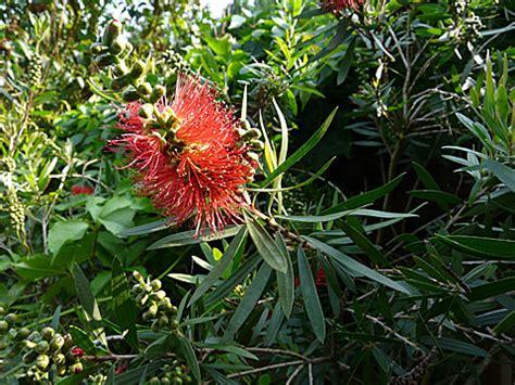 Pflanzen Auf Madeira 2583 by Pflanzen Auf Madeira Schmucklilie Mein Sch Ner Garten