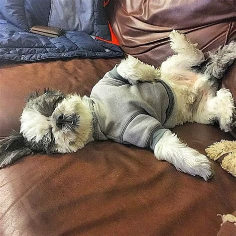 shih tzu behaviour problems behavior problems of shih tzus and how to solve them