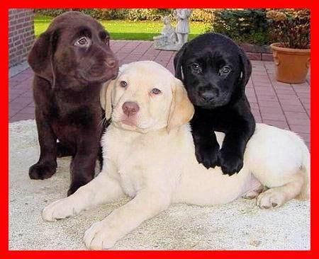 labrador colors labrador retriever three colors labrador retriever
