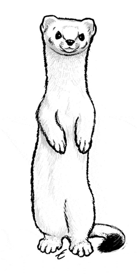 ermine color ermine coloring page animals town free ermine color sheet