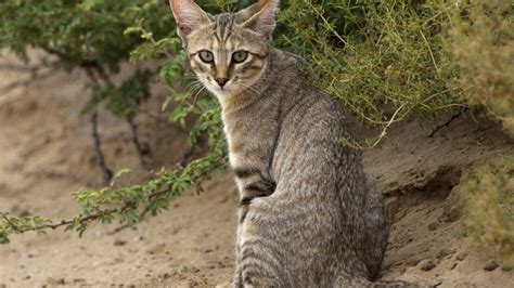 genes  turned wildcats  kitty cats science