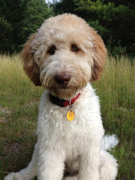 how to cut a goldendoodles hair the 25 best ideas about goldendoodle haircuts on