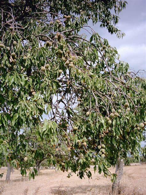 Pohon Kacang kacang almond atau buah badam yaspemainsidi