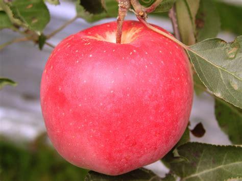 apple japan english 蘋果加工品 日本品牌