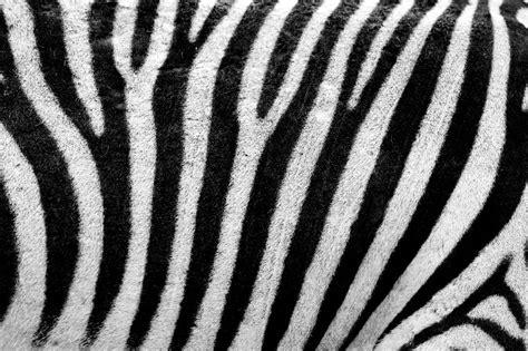 zebra pattern meaning ร ปภาพ นามธรรม ดำและขาว ผม เน อผ า ขนส ตว การตก