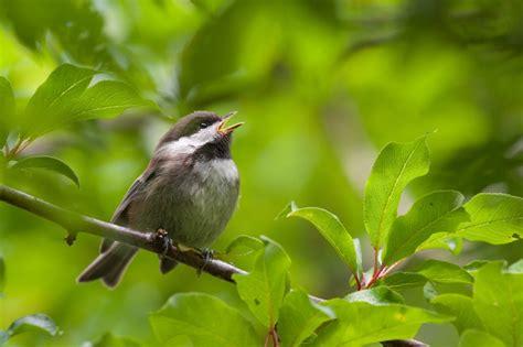 chickadee mating calls de p 225 jaros cantores podr 237 a ayudar a comprender trastornos habla tecreview