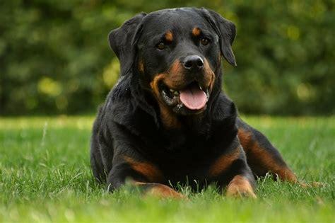 rottweiler karakter rottweiler rassen honden hondenrassen