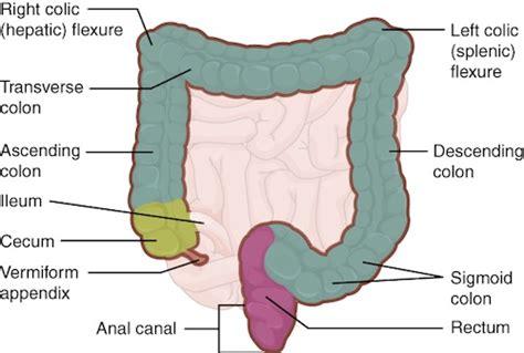 large intestine sections large intestine