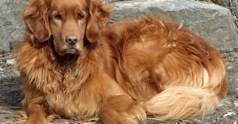golden retriever dangerous the golden retriever is a breed of they were historically breeds picture