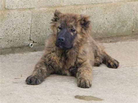 caucasian shepherd puppy for sale caucasian ovcharka puppies for sale quotes