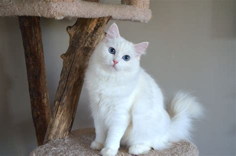 ragdoll white cat white ragdoll cat with green popular breeds of cats