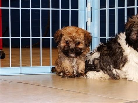 puppies for sale in hickory nc havanese puppies for sale in carolina nc clemmons