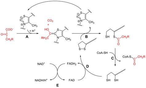 pyruvate oxidation diagram pyruvate dehydrogenase complex