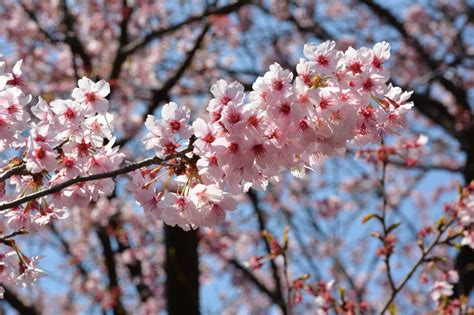 immagini fiori di ciliegio il fascino dei candidi colori dei fiori di ciliegio in